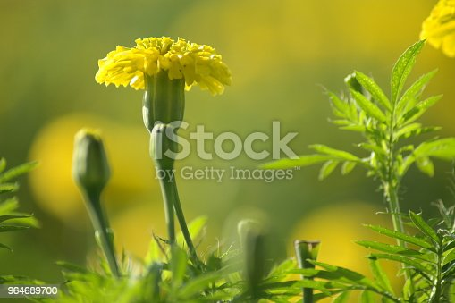 Chendumalli Stock Photo & More Pictures of Agriculture