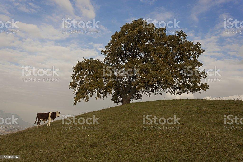 chene sur colline royalty-free stock photo