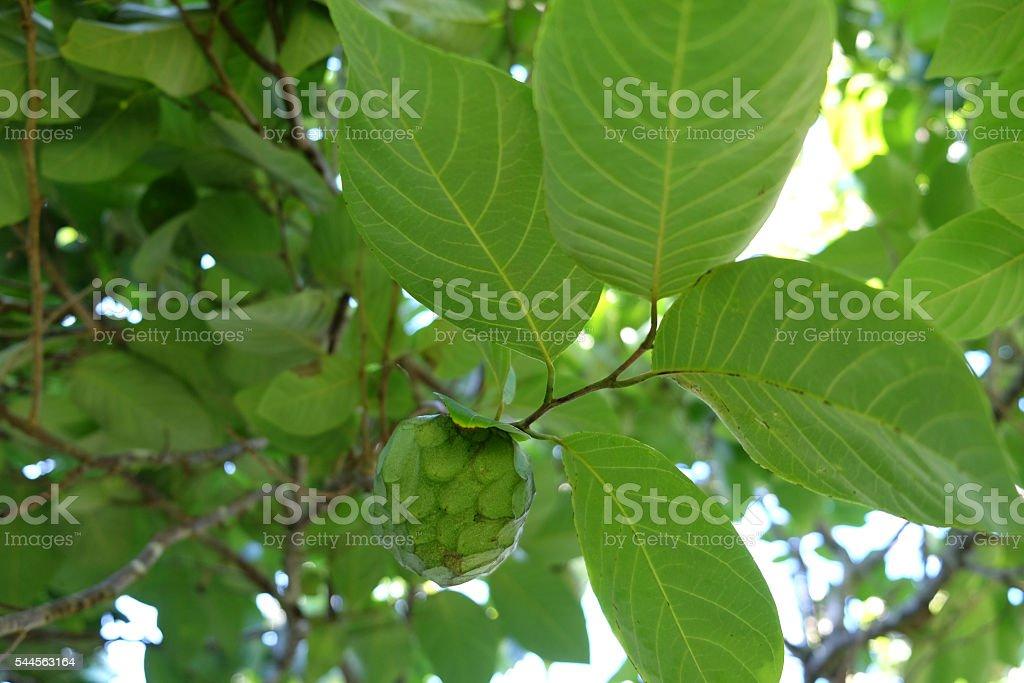 Cherimoya or custard apple tree stock photo