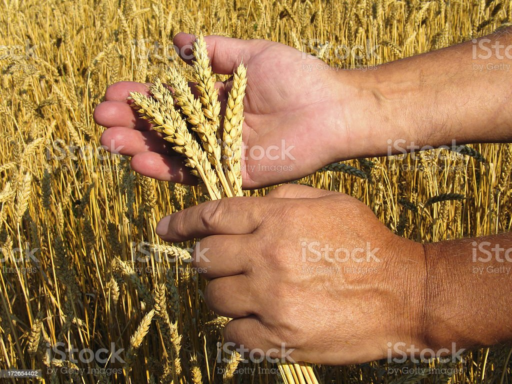 Cherishing Grain II royalty-free stock photo