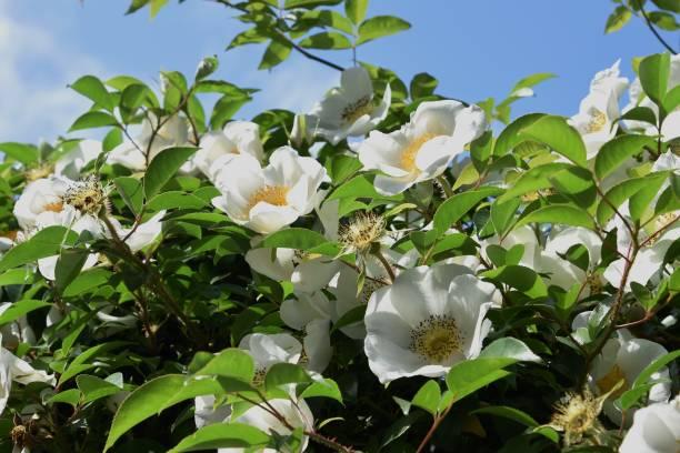 Cherokee rose blossoms – zdjęcie