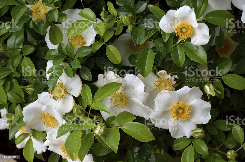 Cherokee Rose royalty-free stock photo