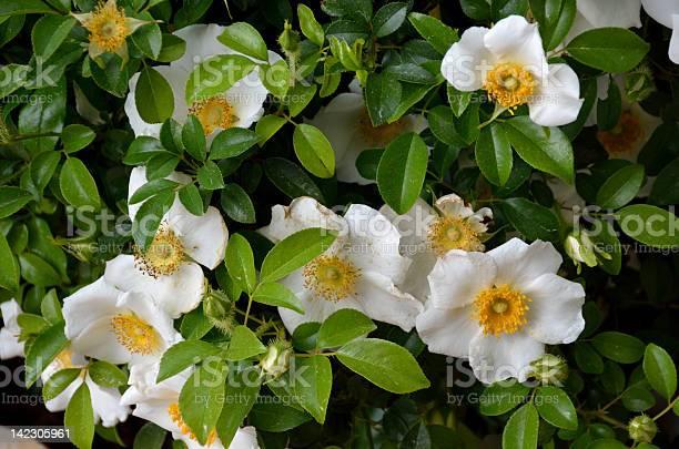 Cherokee rose picture id142305961?b=1&k=6&m=142305961&s=612x612&h=yl9 v7tf9gcfp 2y2fzanp6mldxvnboyjbp0jlbnnum=