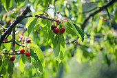 Closeup of cherres in a cherry tree branch in outdoor