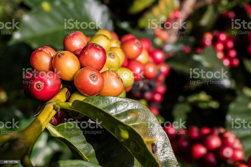 Cherries branch before coffee stock photo