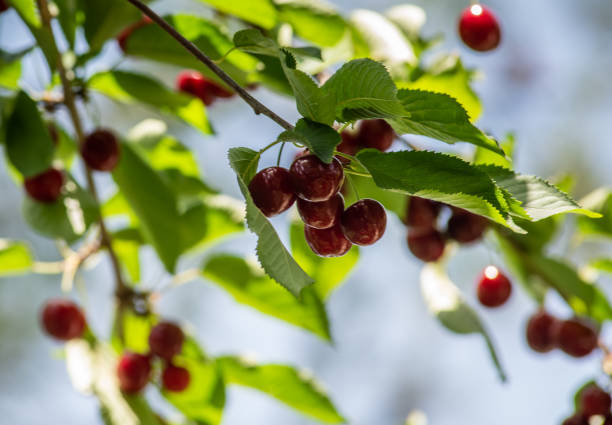 Cherries hanging on a cherry tree branch stock photo