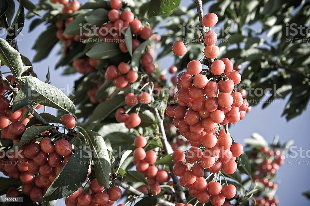 Cherries in the Sun royalty-free stock photo