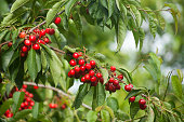 Abundant cherries hanging from a cherry tree, green leaves, branches and green vegetation background, , close-up. Ribeira Sacra, Ourense and Lugo provinces, Galicia, Spain.