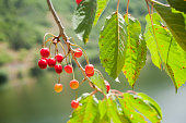 Cherries hanging from a cherry tree in a springtime sunny day, green leaves, branches and river Miño in the  background, , close-up view. Ribeira Sacra area, Ourense and Lugo provinces, Galicia, Spain.