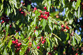 Abundant cherries hanging from a cherry tree, green leaves, branches and clear sky background, , full frame close-up.  Ribeira Sacra, Galicia, Spain.