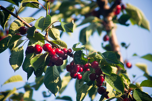 Cherries on a cherry tree, leaves,  branches and clear sky background.