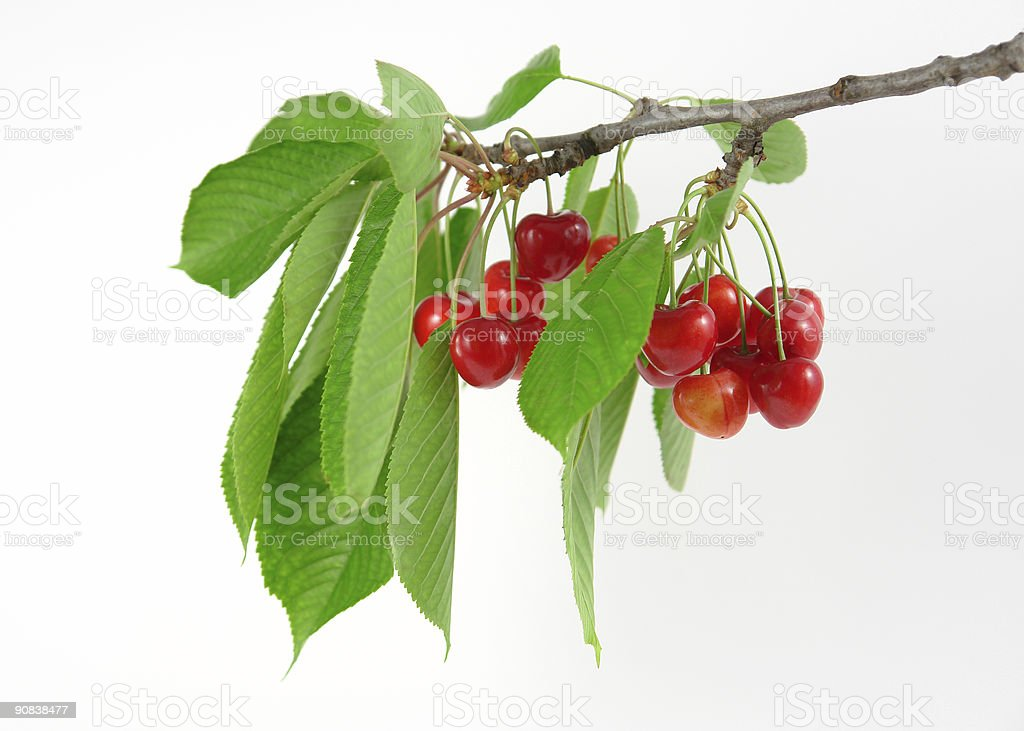 Cherries on branch royalty-free stock photo