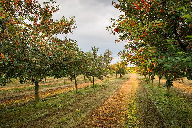 kirschen auf der orchard baum - streuobstwiese stock-fotos und bilder