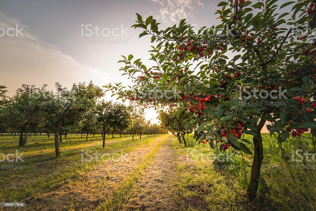 Cherries on orchard tree stock photo