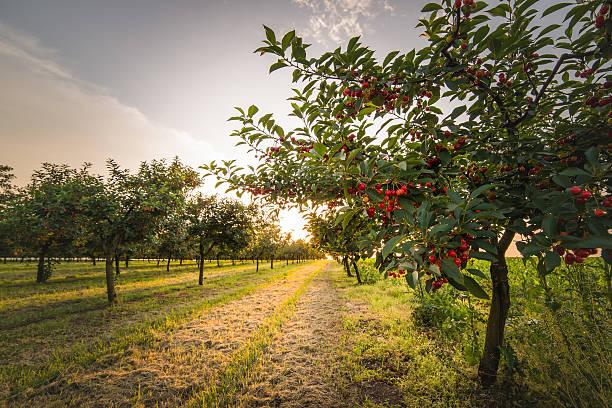 ciliegie su frutteto albero - frutteto foto e immagini stock