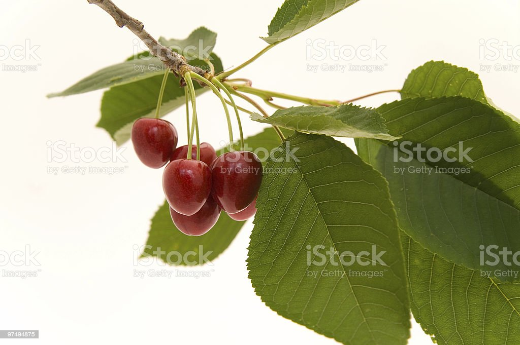 Cherries on the branch royalty-free stock photo