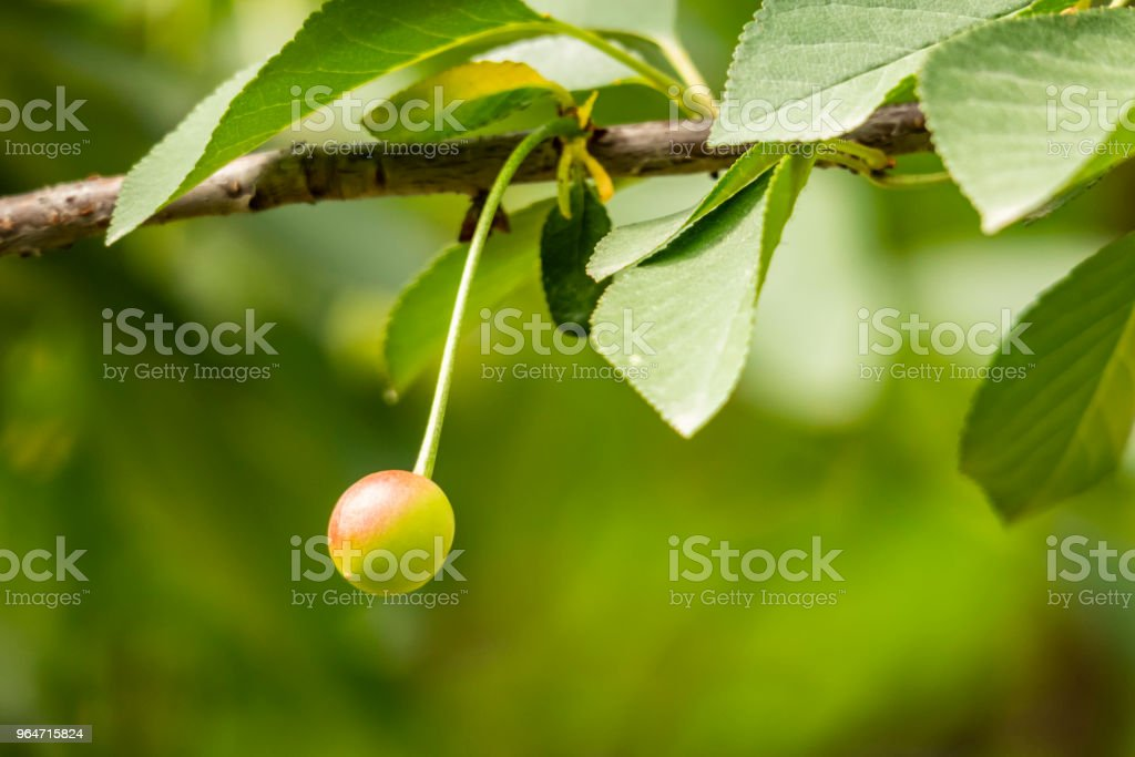 cherries on tree branches and green leaves in nature royalty-free stock photo