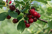 sour cherry fruits hanging on branch ready for picking