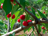 Cherry tree with ripe fruit, sunny in May.