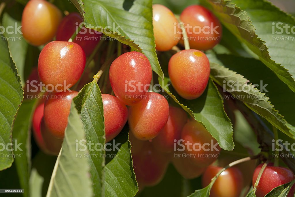 Cherries Ripening on the Tree stock photo