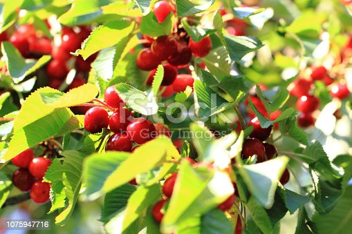 istock cherries tree with fruits 1075947716