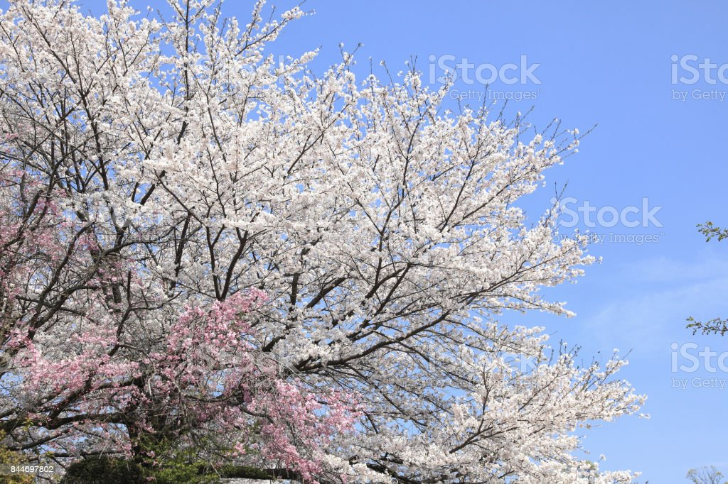 Cherry and blue sky stock photo