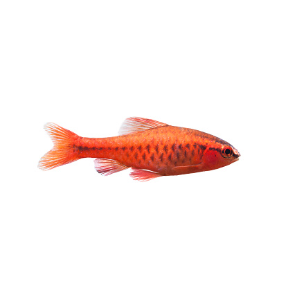 istock Cherry barb male fish on white. Tropical freshwater aquarium Puntius titteya belonging to the family Cyprinidae 906197672