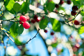 Cherry berries on the branches in the garden