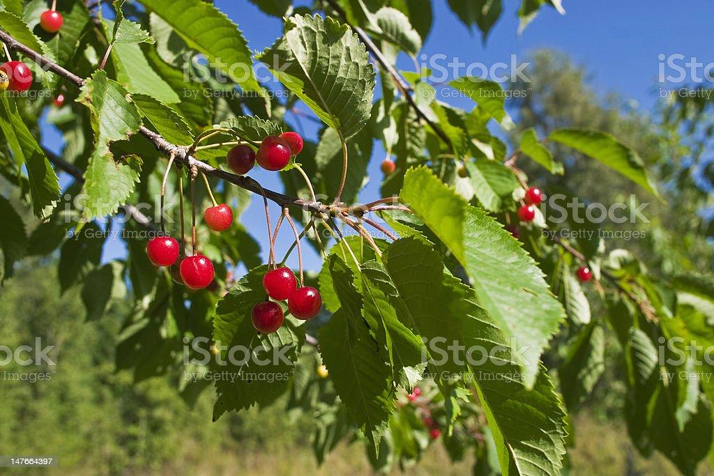 Cherry berry royalty-free stock photo