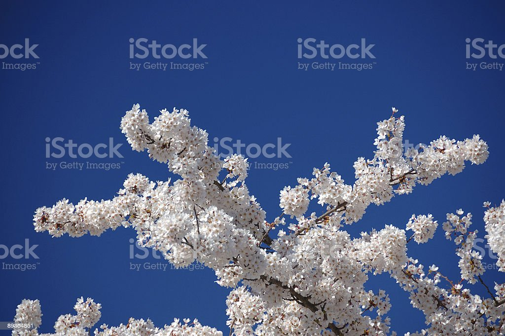 Cherry bloom in the Spring royalty-free stock photo