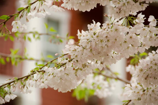 Cherry blooming trees hide building sin Seattle suburb, Redmond, Seattle stock photo