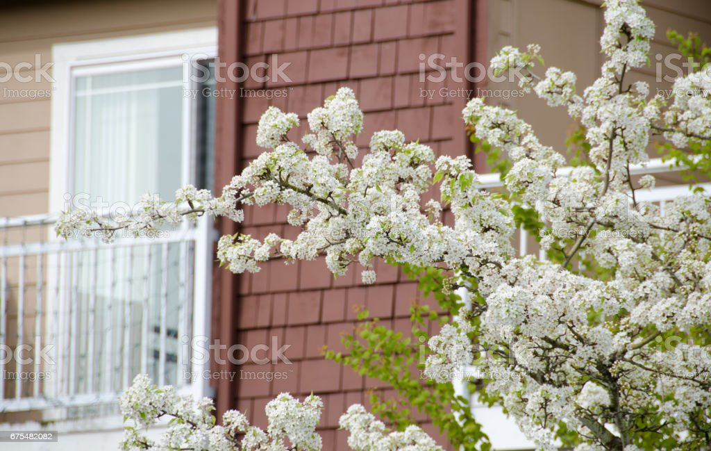 Cherry blooming trees hide building sin Seattle suburb, Redmond, Seattle royalty-free stock photo