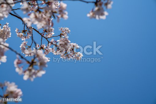 Cherry trees bloom in spring.