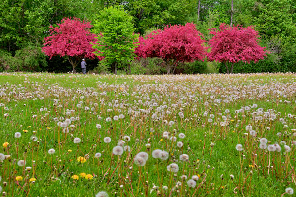 cherry bloosm in spring stock photo