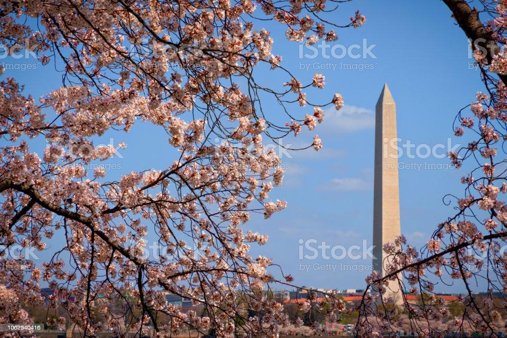 Cherry Blossom 10 stock photo