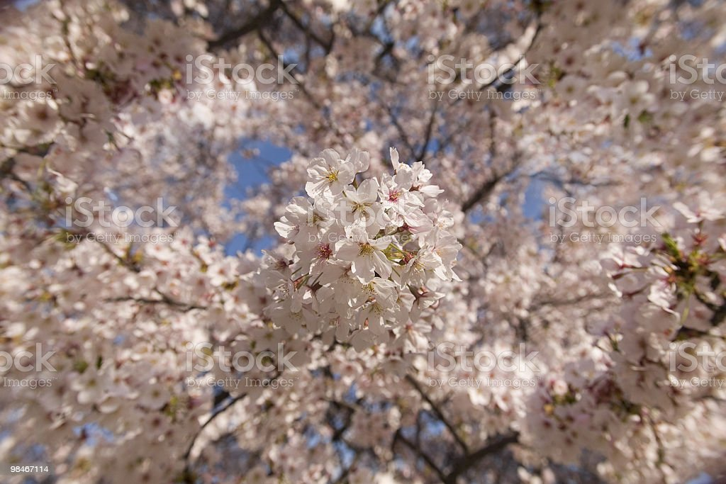 cherry blossom abstract royalty-free stock photo