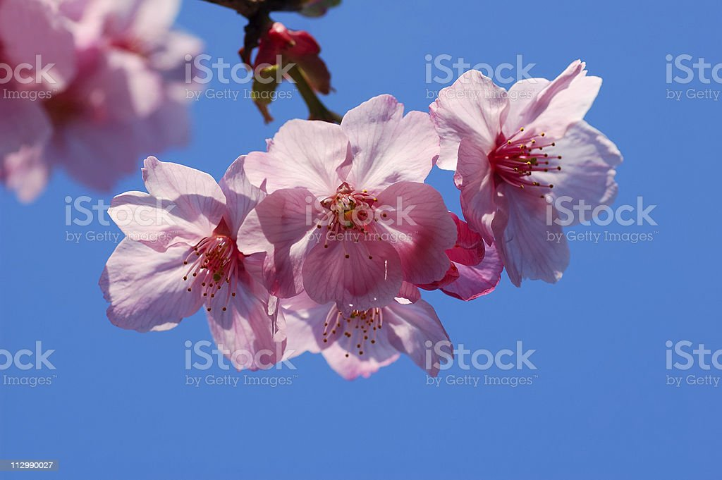 Cherry blossom against sky royalty-free stock photo