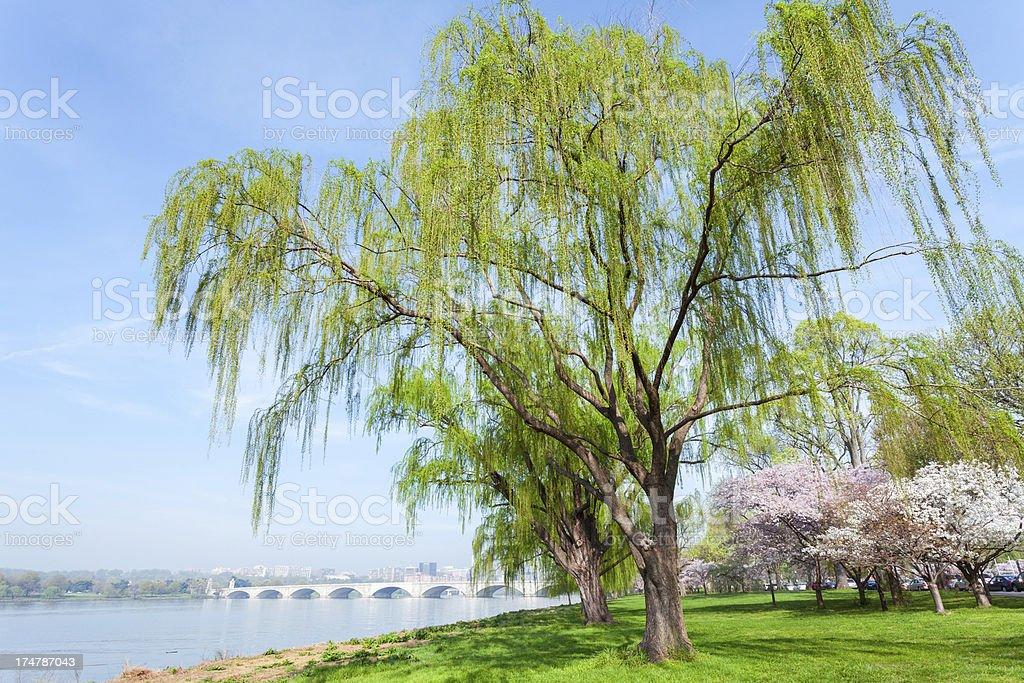 Cherry Blossom and Arlington Bridge on Potomac River, Washington DC royalty-free stock photo