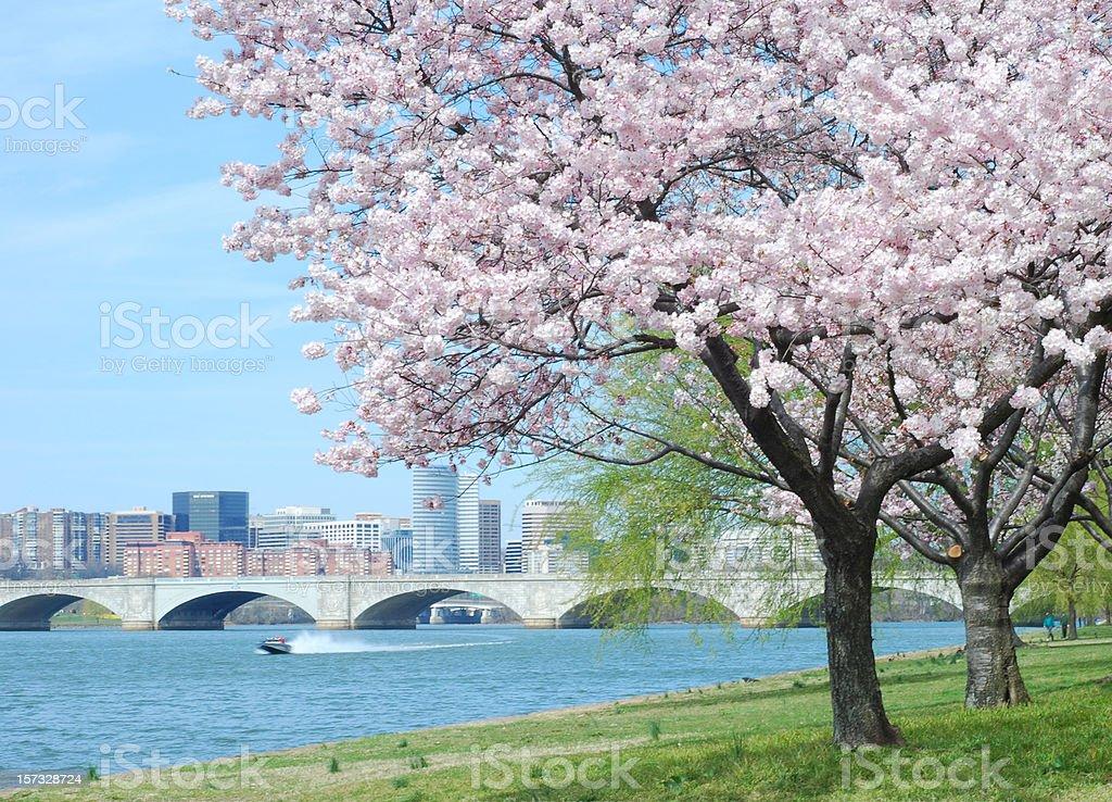 Cherry Blossom and Arlington Memorial Bridge royalty-free stock photo