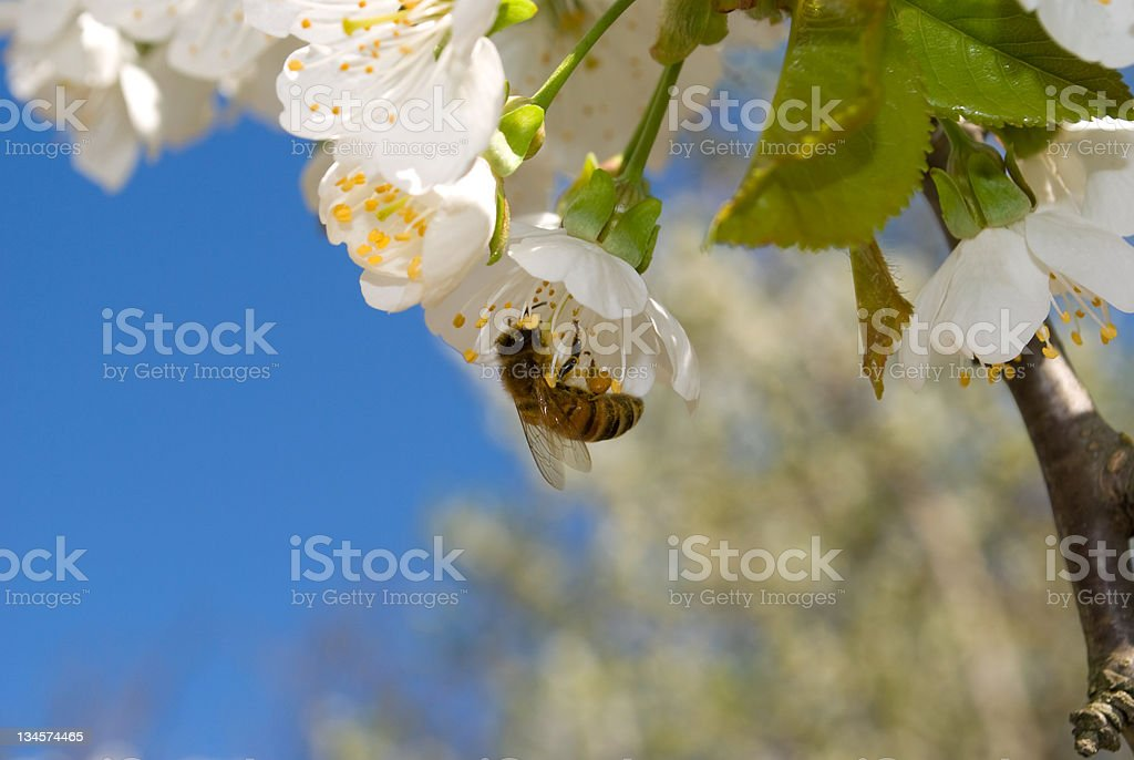 cherry blossom and bee royalty-free stock photo