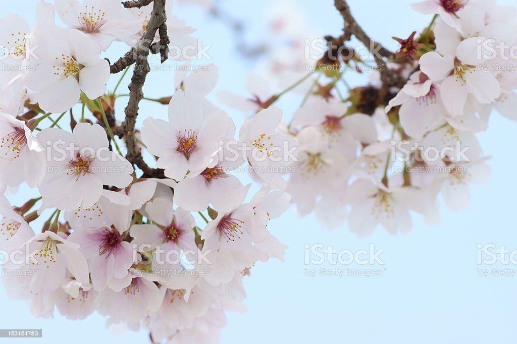 Cherry Blossom and blue sky royaltyfri bildbanksbilder