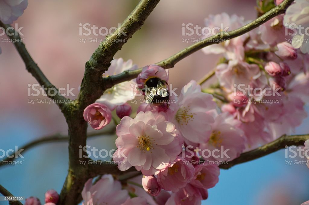Cherry Blossom and Bumble Be royalty-free stock photo