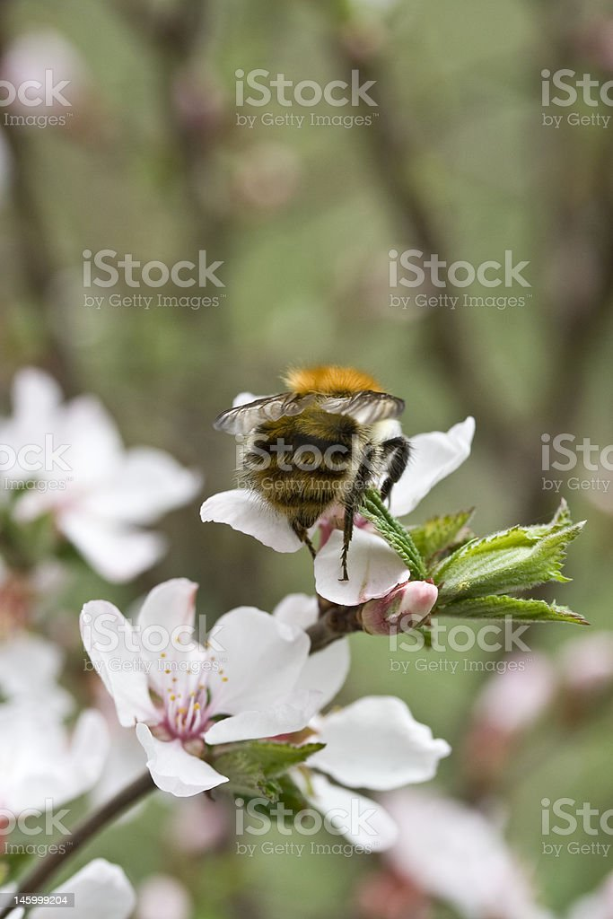 cherry blossom and bumblebee stock photo