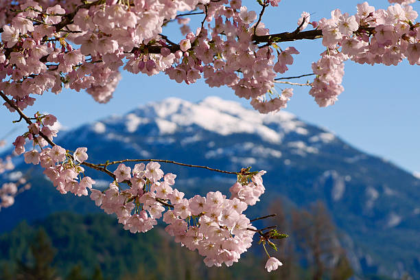 Cherry Blossom and Snowcapped Mountains. stock photo