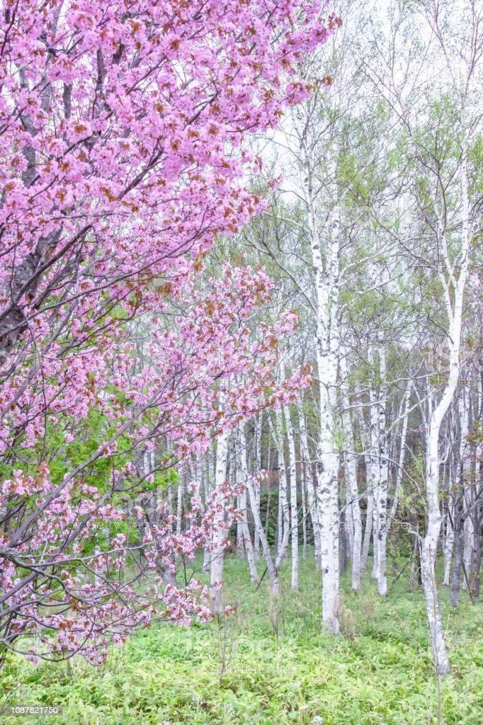 桜の花と北海道の白樺。 ストックフォト