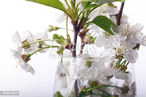 istock cherry blossom aroma 529224973