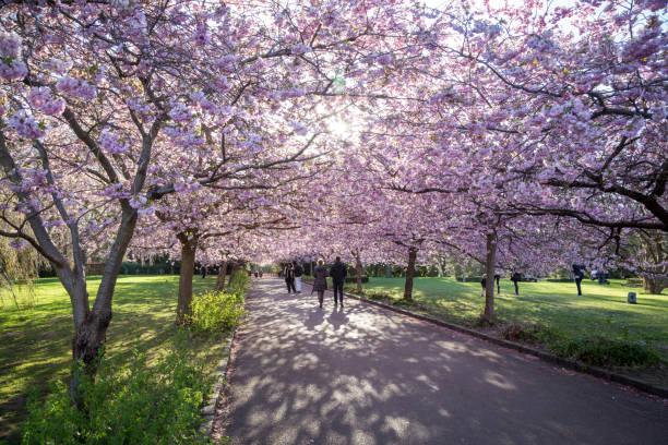 Cherry Blossom at Bispebjerg Cemetery in Copenhagen stock photo