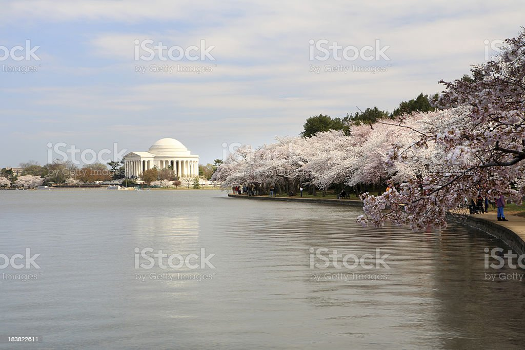 Cherry blossom at DC royalty-free stock photo