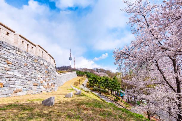 Flor de cerezo en el parque de Namsan de Seúl, Corea del sur - foto de stock