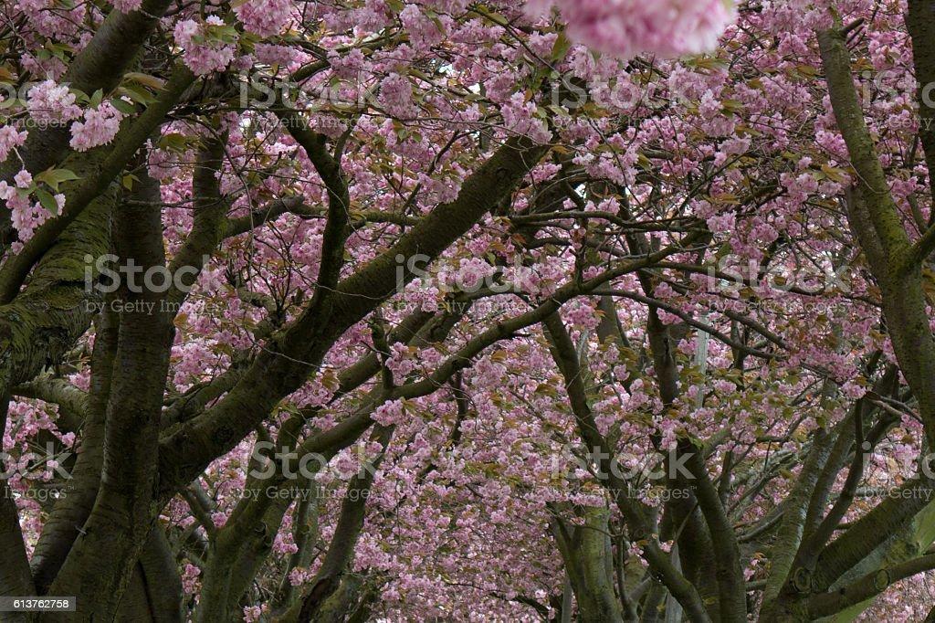 Cherry blossom at the meadows edinburgh stock photo